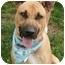 Photo 1 - German Shepherd Dog/Rhodesian Ridgeback Mix Dog for adoption in Sacramento, California - Marmaduke cool boy