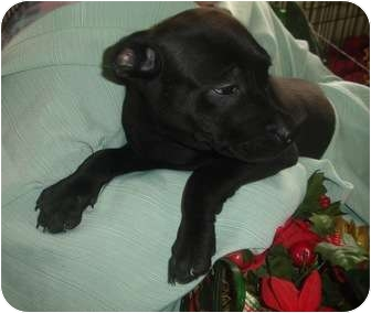 Labrador Retriever/American Staffordshire Terrier Mix Puppy for adoption in Old Bridge, New Jersey - Carly