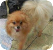 Pomeranian Mix Dog for adoption in Antioch, Illinois - Lulu - TINY- LOVES TO CUDDLE