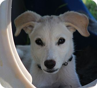 Great Pyrenees/Retriever (Unknown Type) Mix Puppy for adoption in Largo, Florida - PIPPA