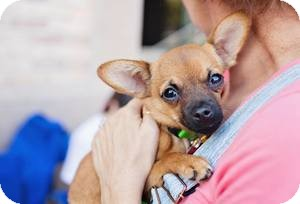 Chihuahua Mix Puppy for adoption in Las Vegas, Nevada - Jerry