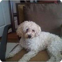 Adopt A Pet :: Coco - Pembroke pInes, FL