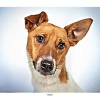 Adopt A Pet :: Chico - New York, NY