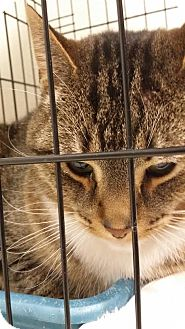 Domestic Shorthair Cat for adoption in Monroe, Michigan - Tiny