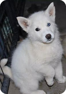 Siberian Husky Puppy for adoption in Apple valley, California - Snow White