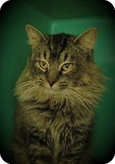 Domestic Longhair Cat for adoption in Elizabeth City, North Carolina - Less