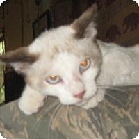 Adopt A Pet :: Kamikazi - Dallas, TX