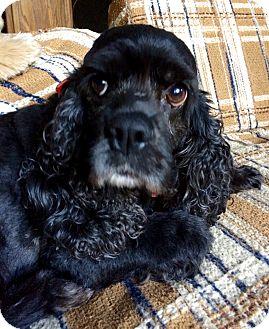 Cocker Spaniel Dog for adoption in Tacoma, Washington - ISABELLE