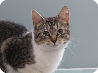 Domestic Shorthair Cat for adoption in THORNHILL, Ontario - S'Mores