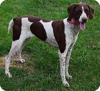 German Shorthaired Pointer Dog for adoption in Cedar Rapids, Iowa - Micah - CL