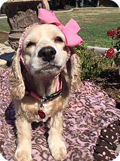 Cocker Spaniel Dog for adoption in Santa Barbara, California - Jenni