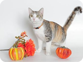 Domestic Shorthair Cat for adoption in Gloucester, Virginia - PURRSEPHANII