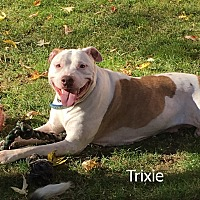 American Staffordshire Terrier Mix Dog for adoption in Rye Brook, New York - Trixie