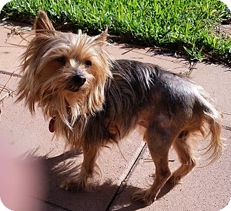 Yorkie, Yorkshire Terrier Dog for adoption in Palm Coast, Florida - Griffin