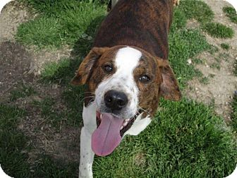 Pointer/Plott Hound Mix Dog for adoption in Liberty Center, Ohio - Boz