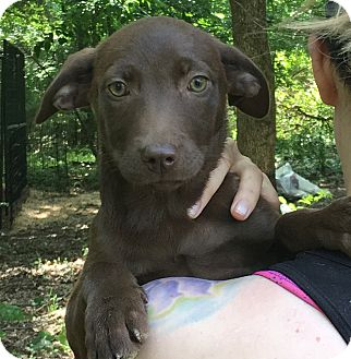 Labrador Retriever Mix Puppy for adoption in Harrisburg, Pennsylvania - Hannah