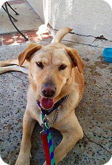 Labrador Retriever Mix Dog for adoption in San Diego, California - Dixie