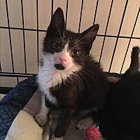 Adopt A Pet :: Sal - Bedford Hills, NY