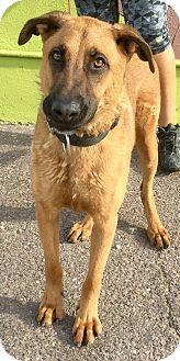 Mastiff Mix Dog for adoption in Phoenix, Arizona - Wolfgang