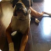 Boxer Dog for adoption in Perris, California - Bee-Doo