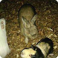 Adopt A Pet :: Guinea Pig 1 - Miami Shores, FL