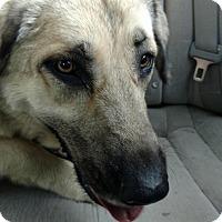 Adopt A Pet :: Dixie - Sherman, CT