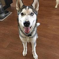 Adopt A Pet :: NOCTIS - Apache Junction, AZ