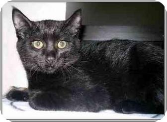 Domestic Shorthair Kitten for adoption in San Clemente, California - DIPSY