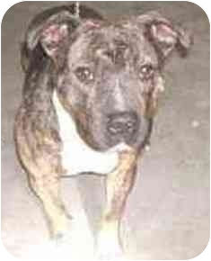 American Staffordshire Terrier/American Pit Bull Terrier Mix Dog for adoption in Plainfield, Illinois - Diesel