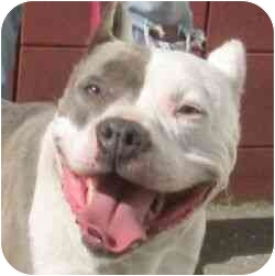 American Pit Bull Terrier Mix Dog for adoption in Berkeley, California - Star