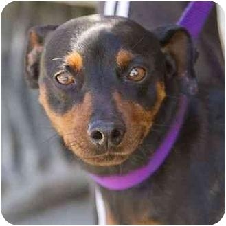 Miniature Pinscher Dog for adoption in Berkeley, California - Lightning