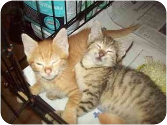 Domestic Shorthair Cat for adoption in Little Neck, New York - LOOKIN 4 2