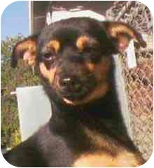 Dachshund/Chihuahua Mix Dog for adoption in Rolling Hills Estates, California - Betty
