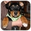Photo 3 - Rottweiler Mix Puppy for adoption in Okotoks, Alberta - Cashew