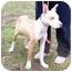 Photo 2 - Ibizan Hound Mix Dog for adoption in Metamora, Indiana - Handsome