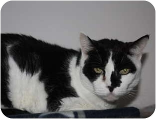 Domestic Shorthair Cat for adoption in Chester, Vermont - Watson