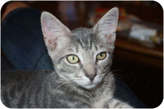 Abyssinian Kitten for adoption in Little Falls, New Jersey - Billy (LE)