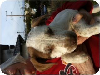 American Bulldog/Pointer Mix Puppy for adoption in El Segundo, California - Sienna