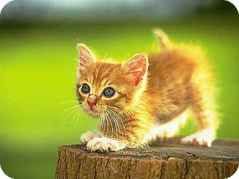Domestic Shorthair Kitten for adoption in Whitestone, New York - Carrottop