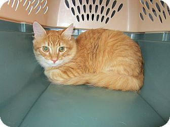 Maine Coon Kitten for adoption in Easley, South Carolina - Sunshine