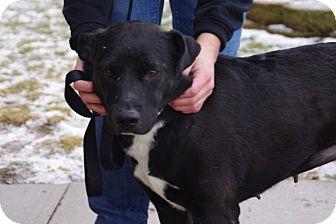 Labrador Retriever Mix Dog for adoption in Elyria, Ohio - Gracie-Prison Dog