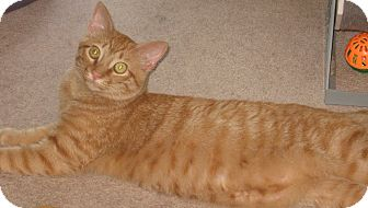 Domestic Shorthair Cat for adoption in Hendersonville, Tennessee - Dan