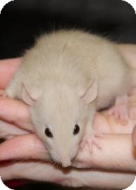 Rat for adoption in West Des Moines, Iowa - Baby Rat 6