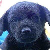 Adopt A Pet :: grizzly - cameron, MO