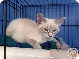 Siamese Kitten for adoption in Eighty Four, Pennsylvania - Saga