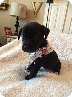 Labrador Retriever/Hound (Unknown Type) Mix Puppy for adoption in CHAMPAIGN, Illinois - RUTH