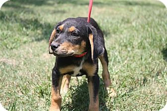 Shepherd (Unknown Type)/Hound (Unknown Type) Mix Puppy for adoption in Conway, Arkansas - Katlyn