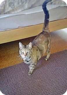 Domestic Shorthair Cat for adoption in HILLSBORO, Oregon - Minnie - Community Cat - Older Cat for Single Woma