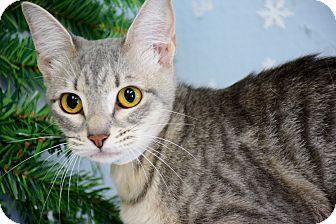 Domestic Shorthair Cat for adoption in Bradenton, Florida - Venus