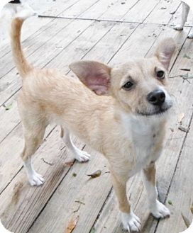 Terrier (Unknown Type, Small) Mix Dog for adoption in Umatilla, Florida - Chip